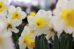 Wild daffodil or Lent lily Stock Photos