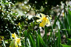 Wild daffodil Royalty Free Stock Photography