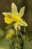 Wild Daffodil - Narcissus pseudonarcissus Stock Photo
