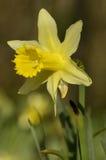 Wild Daffodil - Narcissus pseudonarcissus Stock Photo