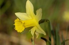 Wild Daffodil Stock Photo