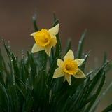 Wild Daffodil Royalty Free Stock Photo