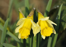 Wild Daffodil Royalty Free Stock Photo