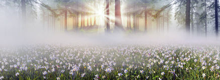 Wild daffodils Stock Photography