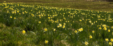 Wild daffodils Royalty Free Stock Photography