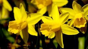 Wild daffodils stock video footage