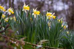 Wild daffodils Narcissus pseudonarcissus pseudonarcissus Royalty Free Stock Photography