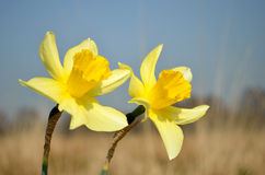Wild daffodils Royalty Free Stock Images