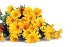 Wild daisies Stock Photography