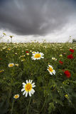Wild daisies Stock Images