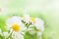 Wild daisies Stock Photos