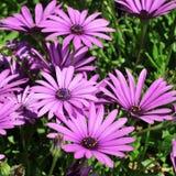 Wild daisies. Close up of some purple wild daisies Stock Photos
