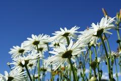 Wild daisies royalty free stock photo