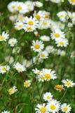 Wild daisies Royalty Free Stock Image