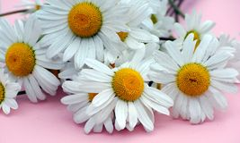 Wild daisies. Close up shot of some wild daisies on pink Stock Photography