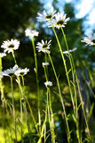 Wild Daisies. Growing in a meadow in Northern California Royalty Free Stock Images