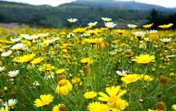 Wild Daisies stock image