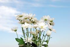 Wild daisies against a blue sky Stock Photos