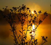 Wild daisies in backlit at dawn. Orange background Royalty Free Stock Images