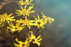 Wild daisies. Beautiful yellow wild daisies on a warm background Royalty Free Stock Images