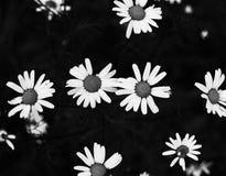 Beautiful camomiles, daisy flowers on black background. stock image