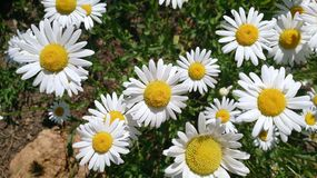 Wild daisies in the spring meadow royalty free stock photography