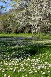 Wild Daisies Blooming Field. Spring field of wild daisy flowers and blooming trees Stock Photo