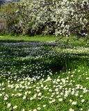 Wild Daisies Blooming Field. Spring field of wild daisy flowers and blooming trees Royalty Free Stock Photography