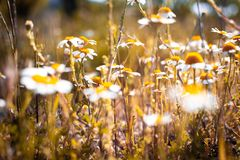 Wild daisies dancing with the wind royalty free stock photo