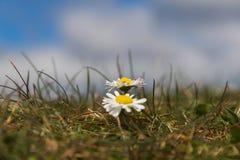 Wild Daisies Detail Royalty Free Stock Photo