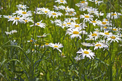 Wild Daisies. A field of grass and wild daisies Stock Image