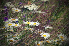 Wild daisies in the field Stock Images