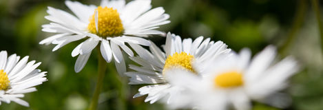 Wild daisies flowers for natural gardening, springtime and sustainable environment. Closeup of a group of wild daisies or Leucanthemum vulgare flowers in green Royalty Free Stock Photography