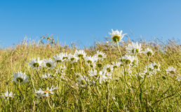 Wild daisies and grasses bending in the wind Royalty Free Stock Images