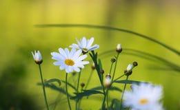 Wild daisies Royalty Free Stock Photos