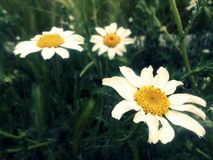 Wild daisies on a green field. Closeup of a beautiful wild daisy in a green field Stock Photography