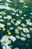 Wild daisies in green grass. Close-up Stock Images