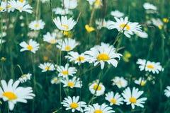 Wild daisies in green grass. Close-up Stock Photos