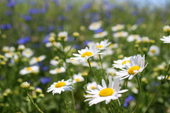 Wild daisies, many blurred flowers in the field, camomile Stock Image