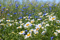 Wild daisies, many blurred flowers in the field, camomile Royalty Free Stock Image