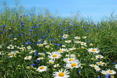 Wild daisies, many blurred flowers in the field, camomile Stock Images