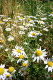 Wild daisies, many blurred flowers in the field, camomile Stock Photos