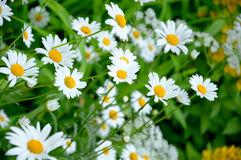Wild daisies in  meadow Royalty Free Stock Images