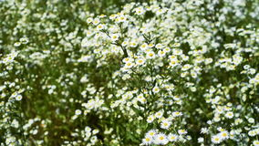 Wild daisies on meadow in summer breeze stock video