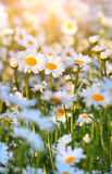 Wild daisies in morninglight Stock Photo