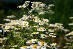 Wild Daisies - Oregon Wildflowers Stock Images
