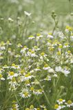 Wild daisies - portrait Stock Images