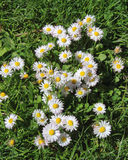 Wild daisies on a spring meadow. The picture was taken in the spring in Germany. The picture shows a spring meadow with wild daisies. Close-up Stock Image
