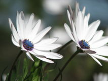 Wild daisies Stock Images