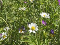 Wild daisies in the summer. Daisy is a very beautiful flower, very common in Europe and Russia. In the fields of daisies bloom in the summer along with other stock video